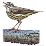 Waterthrush